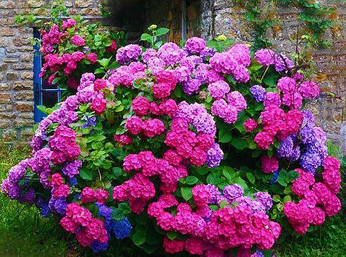 Як правильно посадити, виростити і доглядати за гортензією на дачі і в саду