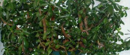 Кімнатна толстянка (грошове дерево) - лікувальні властивості