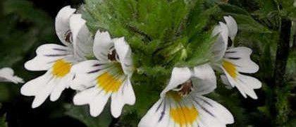 Очанка лекарственная- застосування трави для очей